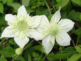 Clematis Alba Plena, Small Flowered Clematis - Brushwood Nursery, Clematis Specialists