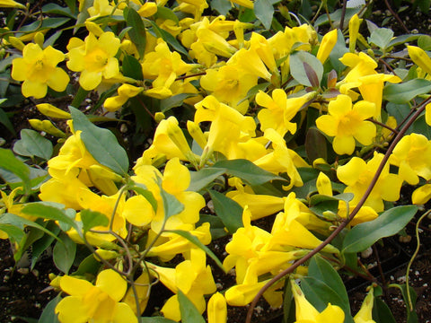 Gelsemium sempervirens Margarita, Native Vines - Brushwood Nursery, Clematis Specialists