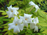 Jasminum officinale Fiona Sunrise