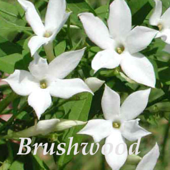 Jasminum officinale f Affine