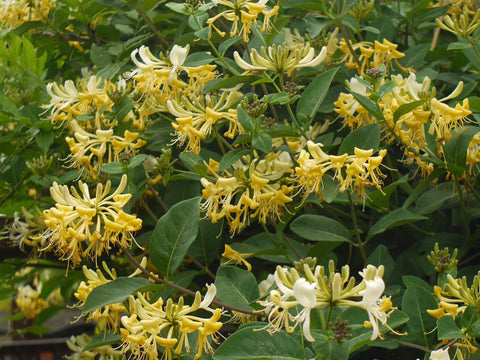 Lonicera Graham Thomas, Lonicera: Honeysuckle - Brushwood Nursery, Clematis Specialists