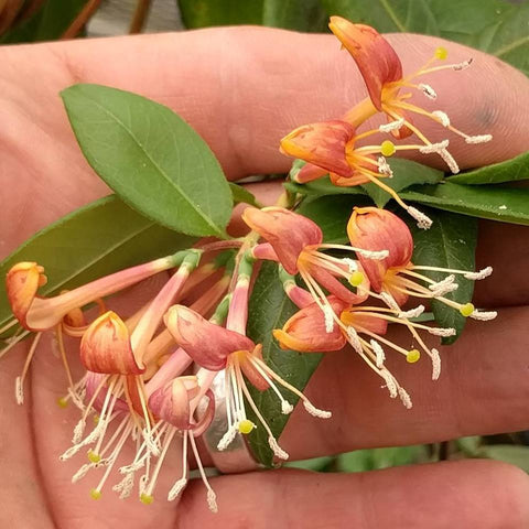 Lonicera henryi,  - Brushwood Nursery, Clematis Specialists