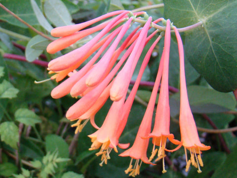 Lonicera sempervirens Superba, Native Vines - Brushwood Nursery, Clematis Specialists