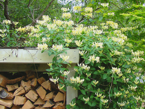 Lonicera Sweet Sue, Lonicera: Honeysuckle - Brushwood Nursery, Clematis Specialists