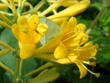 Lonicera Toison d'Or