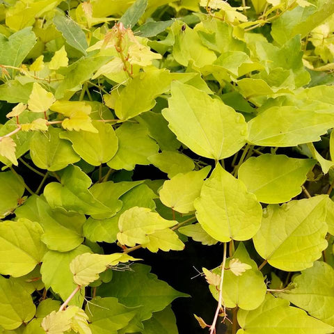 Parthenocissus Fenway Park, Other Species - Brushwood Nursery, Clematis Specialists