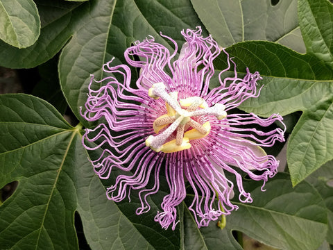 Passiflora incarnata, Native Vines - Brushwood Nursery, Clematis Specialists