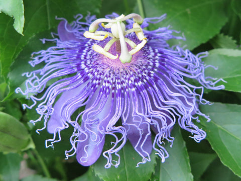 Passiflora Iridescence, Passion Flowers - Brushwood Nursery, Clematis Specialists
