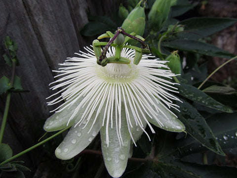 Passiflora Snow Queen, Passion Flowers - Brushwood Nursery, Clematis Specialists