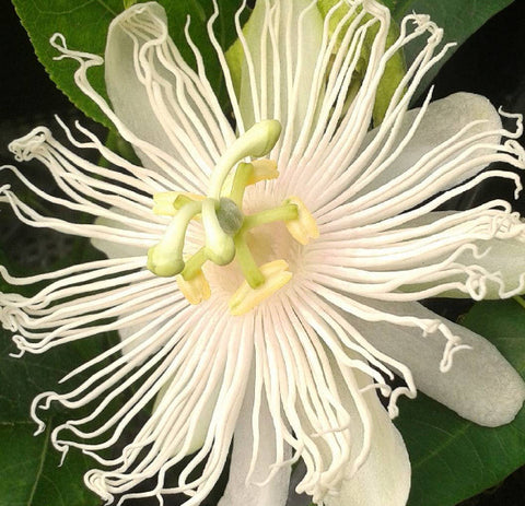 Passiflora incarnata Alba Supernova, Native Vines - Brushwood Nursery, Clematis Specialists