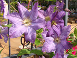 Clematis Solina, Small Flowered Clematis - Brushwood Nursery, Clematis Specialists