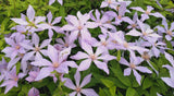 Clematis Sugar-Sweet Blue, Small Flowered Clematis - Brushwood Nursery, Clematis Specialists
