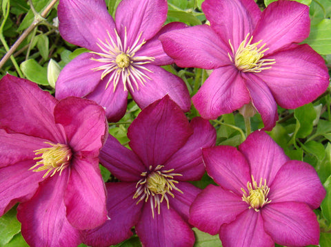 Clematis Ville de Lyon, Large Flowered Clematis - Brushwood Nursery, Clematis Specialists
