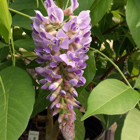 Wisteria frutescens Amethyst Falls, Native Vines - Brushwood Nursery, Clematis Specialists