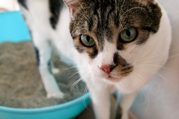 Is my cat's poop normal? Here's how to tell  – Dooli