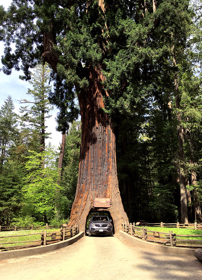 The Redwoods, California - How to Work Remotely - Poppy Barley