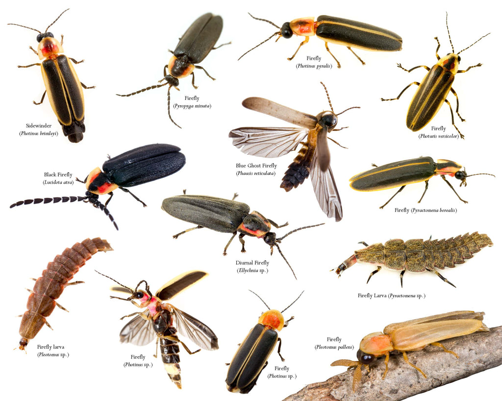 Fireflies and Lightning Bugs – Arthropod Apothecary
