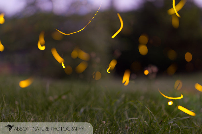 Lightning Bugs or fireflies whichever you like.