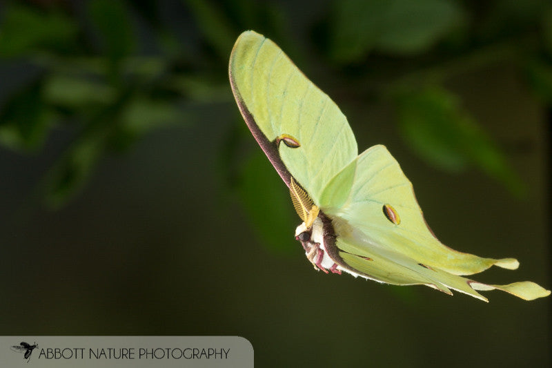 Luna Moths are Out in Force!