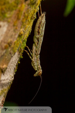 Bark mantid