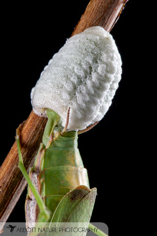 Carolina mantid ootheca