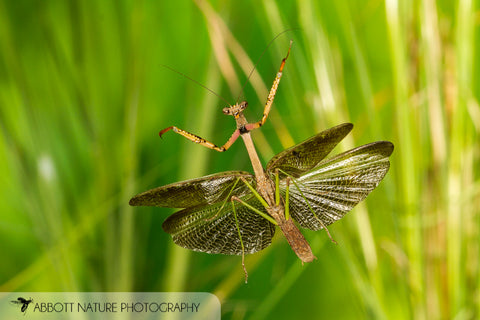 Carolina Mantid