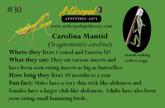 Carolina Mantid fun facts