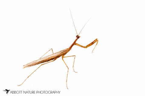 Scudder's mantid