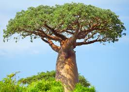 The Baobab Tree Folklore