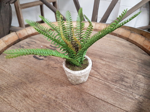 Potted Green Fern
