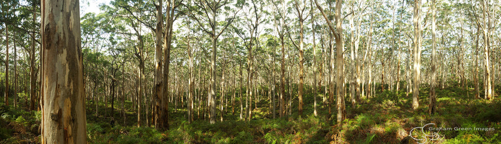 Boranup Forest - SW4037