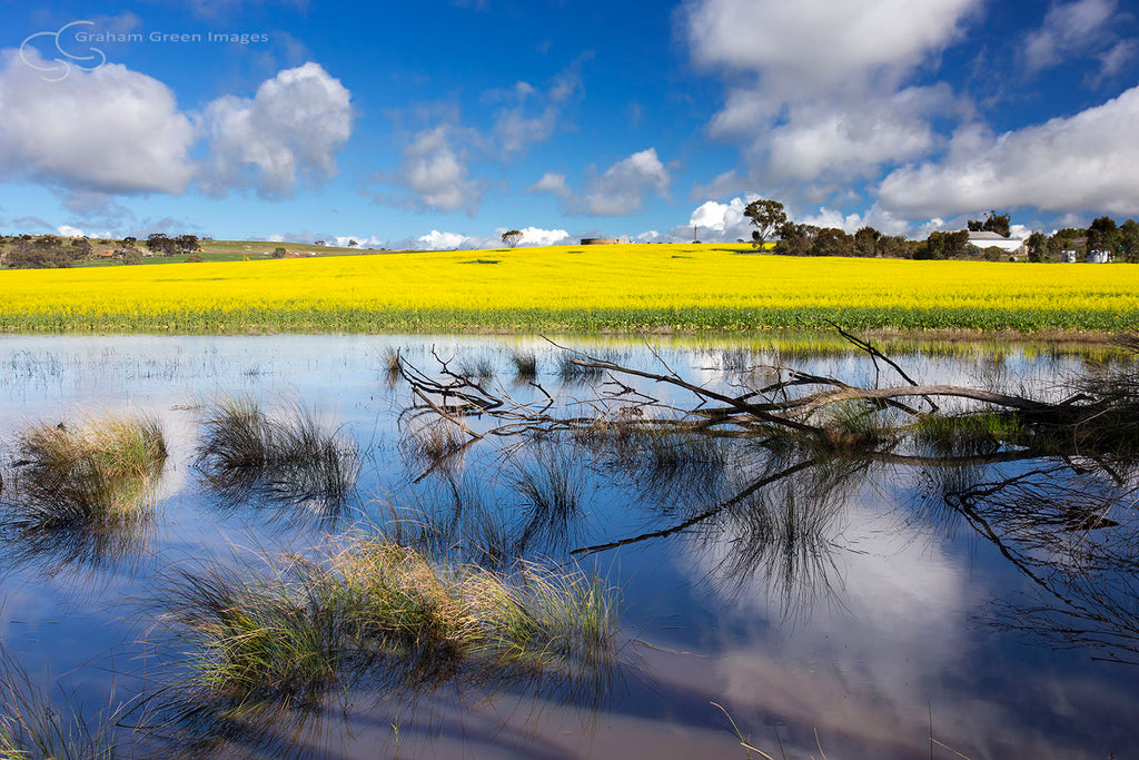 Canola Field, Beverley - WB8802