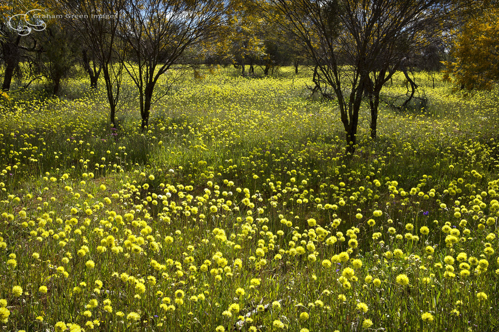 Wildflowers, Coalseam - WF5007