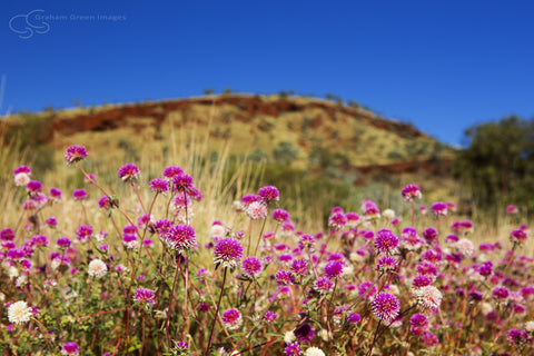 Wildflowers, Karijini - KJ7012
