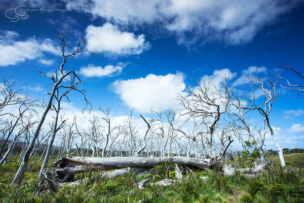 Otway Ghost Trees, Victoria - VC5022