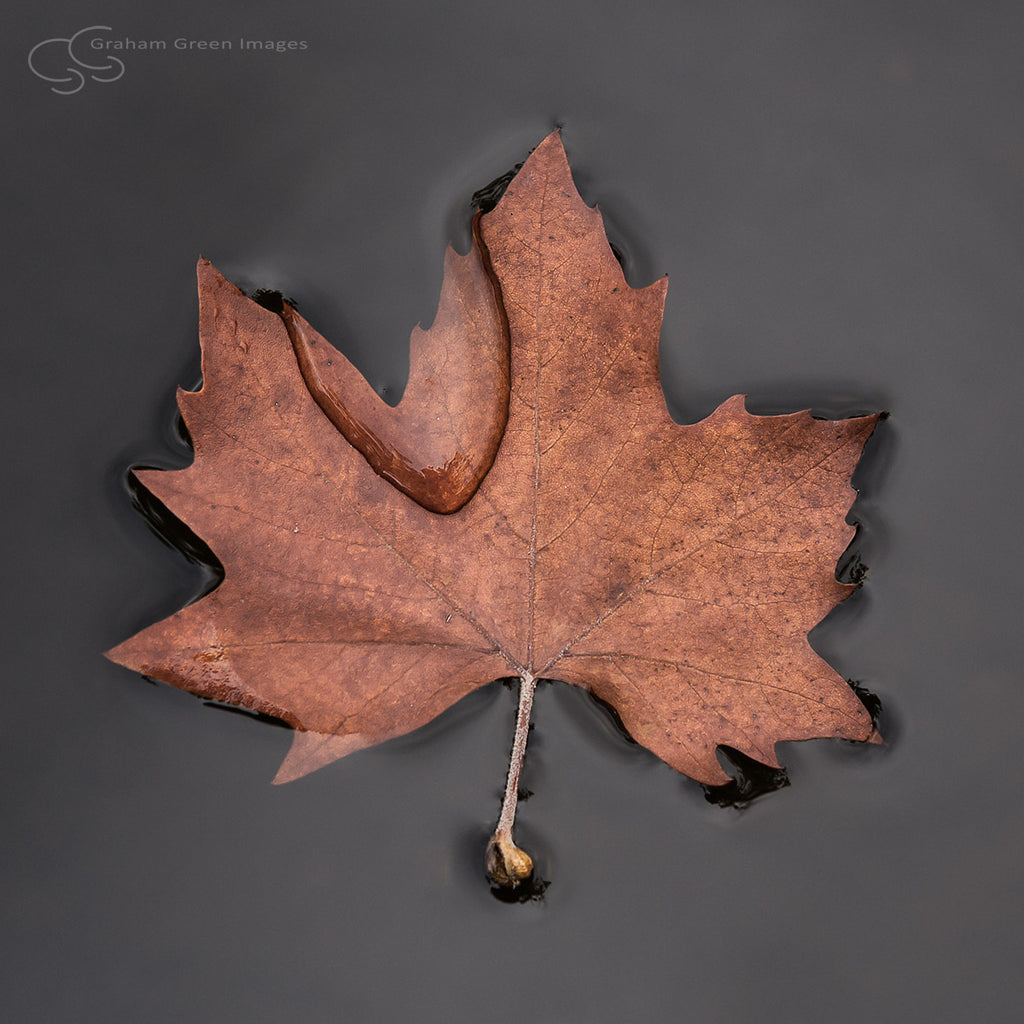 Floating Leaf - FL6064