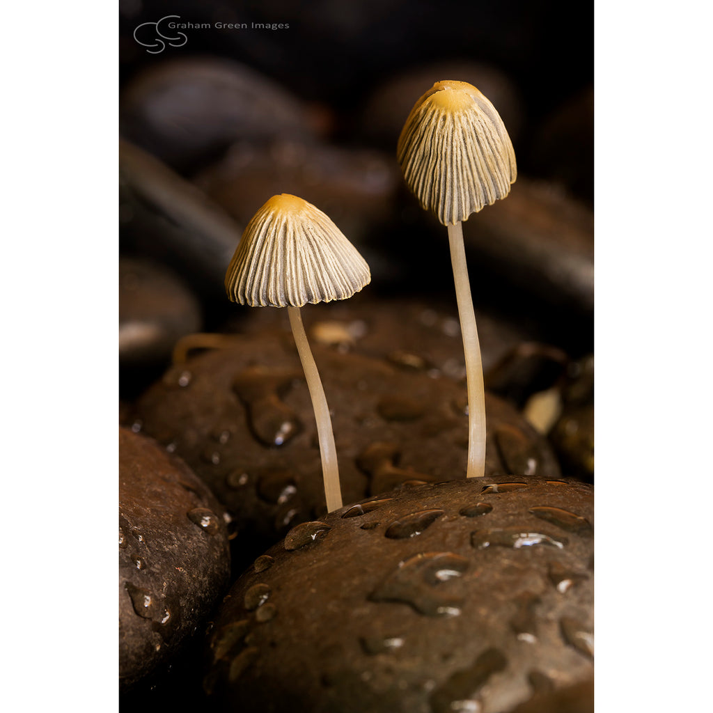 Mushrooms - MA8003