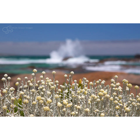 Flowers, Redgate Beach - SW4021