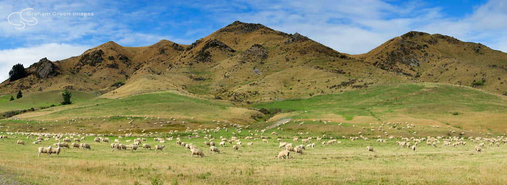Sheep Paddock, NZ - NZ4019