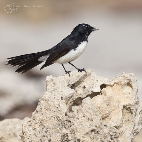 Willy Wagtail - WW2012