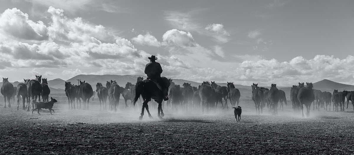 A cowboy and a herd