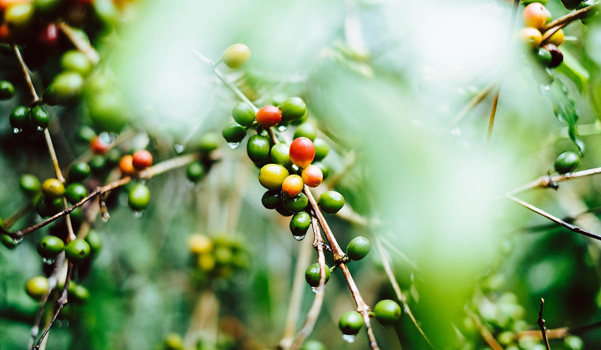 Coffee plant showing where caffeine is found in nature