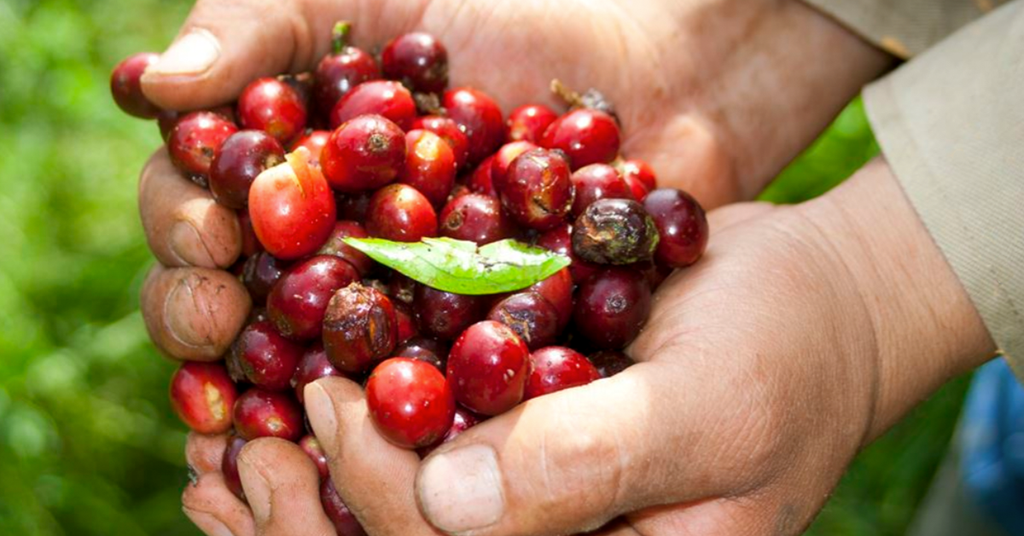 Holding Colombian Supremo Coffee Cherries in workers hands.
