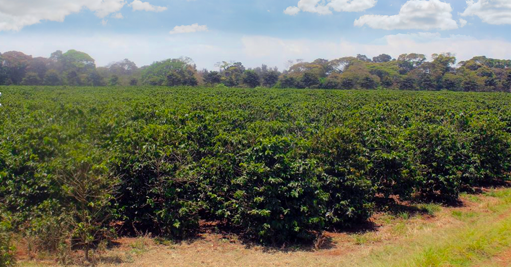 Tanzania Peaberry Coffee Farm