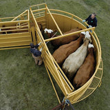 Cattle Feel Safe in a Sioux Steel Crowding Tub