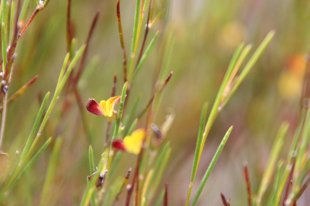 Ingredient Feature: Rooibos