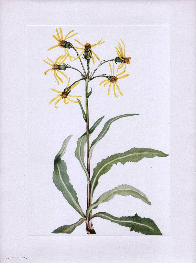 Mourning Groundsel (Senecio lugens Richardson) Notecard - Notecard - Stomping Grounds