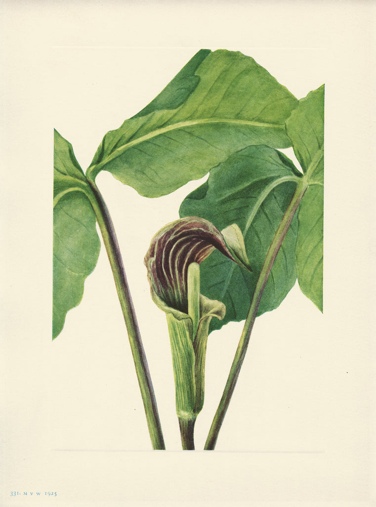 Jack in the Pulpit - Print - Stomping Grounds