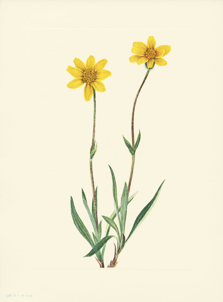 Wooly Arnica - Print - Stomping Grounds
