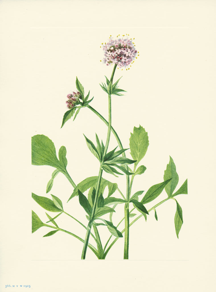 Heliotrope Valerian - Print - Stomping Grounds